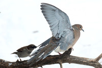 Sparrow wins, Dove fly's off