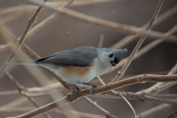 Tufted Titmouse (Canon 70d + Sigma 50-500mm f/4.5-6.3 APO DG OS HSM SLD)