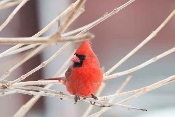 Male Cardinal (Canon 70d + Sigma 50-500mm f/4.5-6.3 APO DG OS HSM SLD)