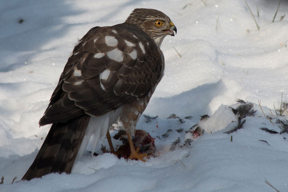 Coopers Hawk (Canon 70d + Canon EF 70-300mm f/4-5.6 IS USM)