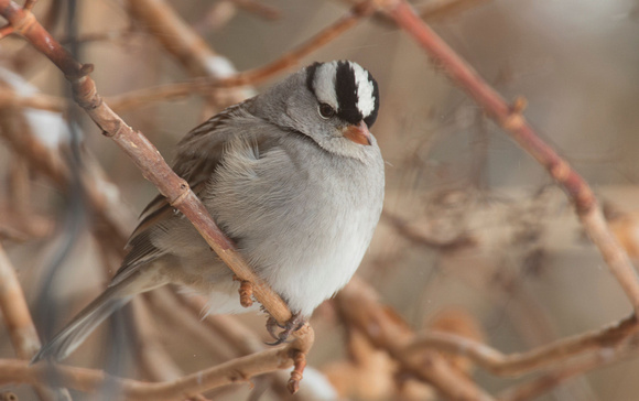 White Crowned Sparrow (Canon 70d + Sigma 50-500mm f/4.5-6.3 APO DG OS HSM SLD)
