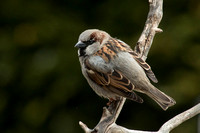 Male House Sparrow (Canon 70d + Sigma 50-500mm f/4.5-6.3 APO DG OS HSM SLD)