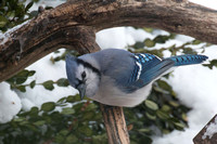 Blue Jay (Canon 70d + Sigma 50-500mm f/4.5-6.3 APO DG OS HSM SLD)
